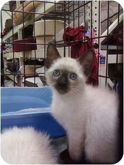 Siamese Kitten for adoption in Fort Lauderdale, Florida - Baby Sherman