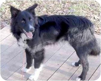 Border Collie Dog for adoption in Fayetteville, Arkansas - Lucky