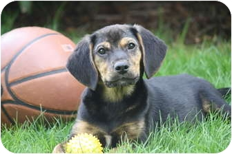 Dachshund/Beagle Mix Puppy for adoption in West Milford, New Jersey - MOXI available