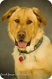 Golden Retriever/Labrador Retriever Mix Dog for adoption in Anchorage, Alaska - Weasley