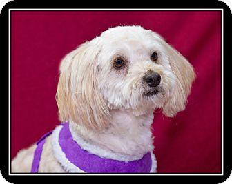 Cockapoo/Maltese Mix Dog for adoption in Fort Braff, California - Gigi