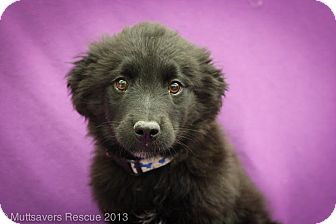Shepherd (Unknown Type)/Terrier (Unknown Type, Medium) Mix Puppy for adoption in Broomfield, Colorado - Doughnut