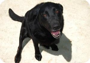 Labrador Retriever Mix Dog for adoption in Northville, Michigan - Roxie - Pending