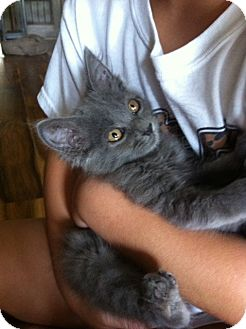 Domestic Mediumhair Cat for adoption in Baton Rouge, Louisiana - Buttons