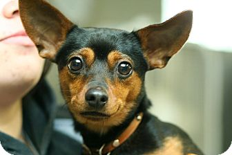 Miniature Pinscher Dog for adoption in Anderson, Indiana - Luke