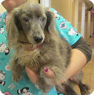 Dachshund Dog for adoption in Oak Ridge, New Jersey - Scamp-LONGHAIR
