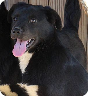 Retriever (Unknown Type)/Border Collie Mix Puppy for adoption in Catonsville, Maryland - June