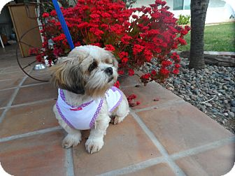 Shih Tzu Dog for adoption in Riverside, California - Miss Lilly