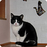 Domestic Shorthair Cat for adoption in Toronto, Ontario - Bobbi - Foster