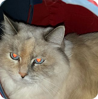 Ragdoll Cat for adoption in Columbus, Ohio - Krissy