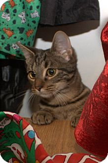 Domestic Shorthair Kitten for adoption in Lombard, Illinois - Cinder