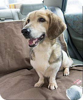 Corgi/Beagle Mix Dog for adoption in orange, California - Nougat
