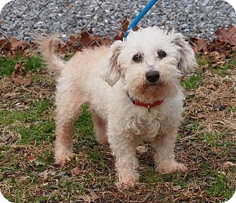 Poodle (Miniature) Mix Dog for adoption in Ocean View, New Jersey - Nani