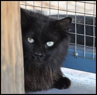 Domestic Longhair Cat for adoption in Alamogordo, New Mexico - LOTTA