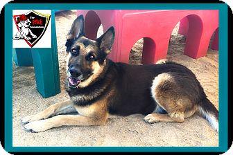 German Shepherd Dog Dog for adoption in Cave Creek, Arizona - DUSTIN