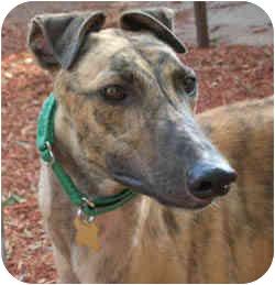 Greyhound Dog for adoption in Lexington, South Carolina - Mercy
