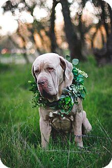 Cane Corso/French Mastiff Mix Dog for adoption in Auburn, California - Chance