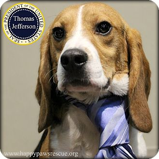 Beagle Dog for adoption in South Plainfield, New Jersey - Thomas Jefferson