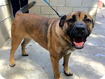German Shepherd Dog/English Bulldog Mix Dog for adoption in La Mirada, California - Gracie