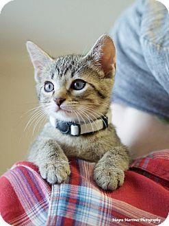 Domestic Shorthair Kitten for adoption in Huntsville, Alabama - Ellis