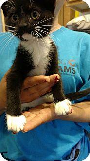 Domestic Shorthair Kitten for adoption in Hanna City, Illinois - Stardust