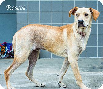 Labrador Retriever Mix Dog for adoption in Lancaster, Texas - Rosco