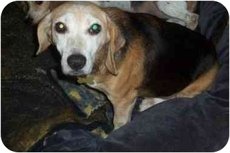 Beagle Dog for adoption in Ventnor City, New Jersey - MINNIE