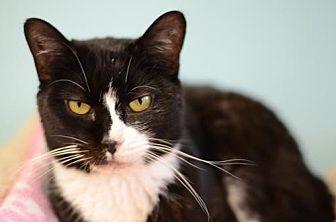 Domestic Shorthair Cat for adoption in Atlanta, Georgia - Luna Belle  160422
