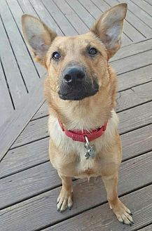 Belgian Malinois Mix Dog for adoption in Taneytown, Maryland - Keanu