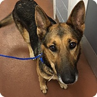 Adopt A Pet :: Pending Jodi - Houston, TX