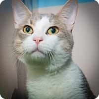 Adopt A Pet :: Thatcher - New York, NY
