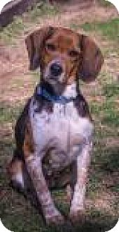 Beagle Mix Dog for adoption in Fairfax, Virginia - Fern