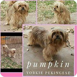 Pekingese/Yorkie, Yorkshire Terrier Mix Dog for adoption in Snyder, Texas - pumpkin