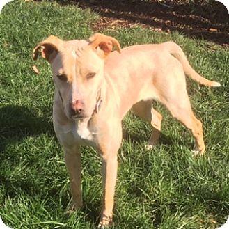 Labrador Retriever Mix Dog for adoption in Monroe, North Carolina - Daffy