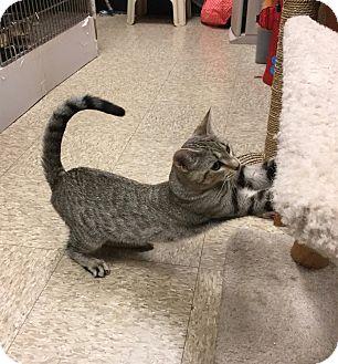 Domestic Shorthair Cat for adoption in Colmar, Pennsylvania - Allie