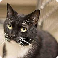 Adopt A Pet :: FELIX - Frisco, CO