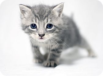 Domestic Shorthair Kitten for adoption in Jersey City, New Jersey - Sushi
