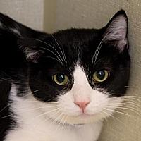 Adopt A Pet :: Domino - Santa Paula, CA