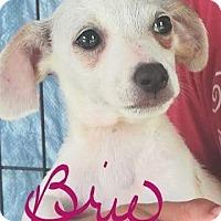 Adopt A Pet :: Brie - Seahurst, WA