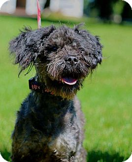 Poodle (Standard)/Schnauzer (Standard) Mix Dog for adoption in Port Jervis, New York - Marley