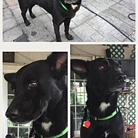 Adopt A Pet :: Licorice - Homestead, FL