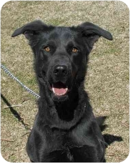 Labrador Retriever/German Shepherd Dog Mix Dog for adoption in South Lake Tahoe, California - Annie