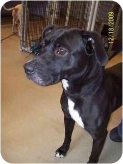Boxer/Labrador Retriever Mix Dog for adoption in Bradford, Pennsylvania - Rufus