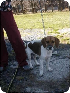 Beagle Mix Dog for adoption in Broadway, New Jersey - JJ