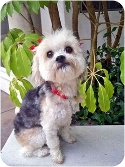 Silky Terrier/Poodle (Toy or Tea Cup) Mix Dog for adoption in Los Angeles, California - GLEE