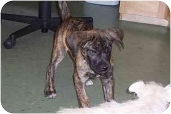 Cane Corso Mix Puppy for adoption in PORTLAND, Maine - Teagan
