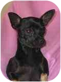 Chihuahua Mix Dog for adoption in Albuquerque, New Mexico - Chica---xs