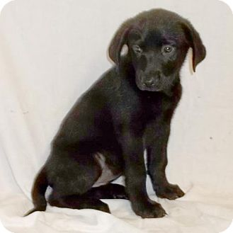 Labrador Retriever Mix Puppy for adoption in Browns Mills, New Jersey - Jill