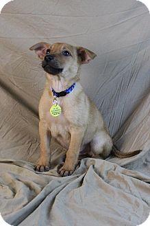 Australian Shepherd/Labrador Retriever Mix Puppy for adoption in Westminster, Colorado - Gabriel