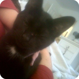 Domestic Shorthair Kitten for adoption in Fairborn, Ohio - Raven-One Inspiring Little Guy
